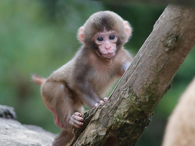 木登りする猿