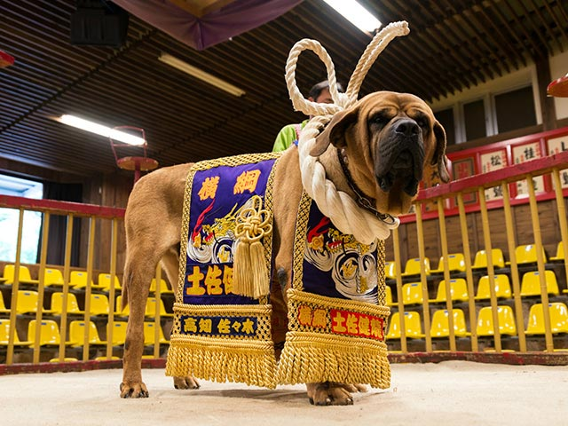 土佐犬と触れ合い、芋けんぴタワーでびっくりする高知市のおすすめデートコース           高知(高知県)
