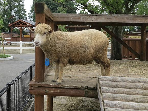 毛が短めの羊